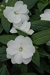 Celebrette Frost New Guinea Impatiens (Impatiens 'Celebrette Frost') at Shelmerdine Garden Center