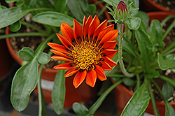 Sunbathers Sunset Gazania (Gazania 'Sunbathers Sunset') at Shelmerdine Garden Center