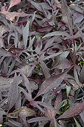 Illusion Midnight Lace Sweet Potato Vine (Ipomoea batatas 'Illusion Midnight Lace') at Shelmerdine Garden Center