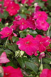 Show Off Burgundy Impatiens (Impatiens 'Show Off Burgundy') at Shelmerdine Garden Center