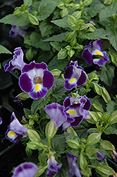 Catalina Midnight Blue Torenia (Torenia 'Catalina Midnight Blue') at Shelmerdine Garden Center