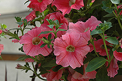 Suncatcher Salmon Vein Petunia (Petunia 'Suncatcher Salmon Vein') at Shelmerdine Garden Center