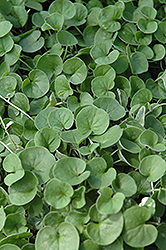 Emerald Falls Dichondra (Dichondra argentea 'Emerald Falls') at Shelmerdine Garden Center
