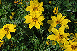 Yellow Charm Bidens (Bidens ferulifolia 'Yellow Charm') at Shelmerdine Garden Center