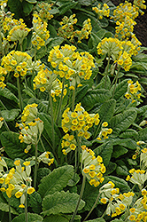 English Cowslip (Primula veris) at Shelmerdine Garden Center