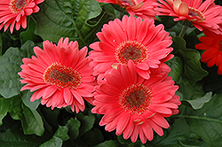 Coral Gerbera Daisy (Gerbera 'Coral') at Shelmerdine Garden Center