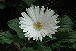 White Gerbera Daisy (Gerbera 'White') at Shelmerdine Garden Center