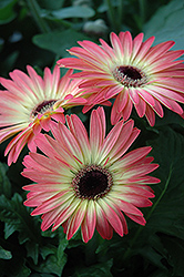 Pink and Yellow Gerbera Daisy (Gerbera 'Pink and Yellow') at Shelmerdine Garden Center