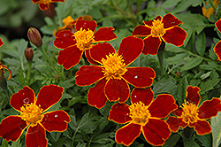 Disco Red Marigold (Tagetes patula 'Disco Red') at Shelmerdine Garden Center