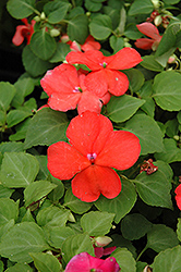 Super Elfin® Salmon Impatiens (Impatiens walleriana 'Super Elfin Salmon') at Shelmerdine Garden Center