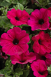 Fame Electric Purple Petunia (Petunia 'Fame Electric Purple') at Shelmerdine Garden Center