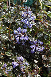 Mini Crisp Red Bugleweed (Ajuga reptans 'Mini Crisp Red') at Shelmerdine Garden Center