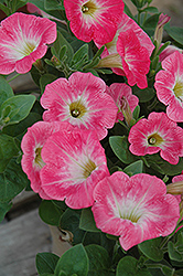 Sweetunia Strawberry Morning Petunia (Petunia 'Sweetunia Strawberry Morning') at Shelmerdine Garden Center