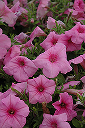 Supertunia® Cotton Candy Petunia (Petunia 'Supertunia Cotton Candy') at Shelmerdine Garden Center