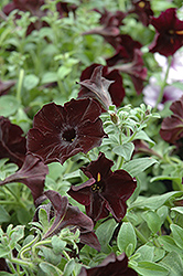 Sweetunia Black Satin Petunia (Petunia 'Sweetunia Black Satin') at Shelmerdine Garden Center