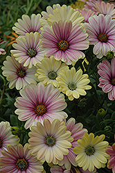 Summertime Sunrise African Daisy (Osteospermum 'Summertime Sunrise') at Shelmerdine Garden Center