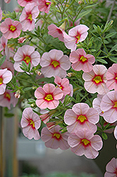 Aloha Tiki Soft Pink Calibrachoa (Calibrachoa 'Aloha Tiki Soft Pink') at Shelmerdine Garden Center
