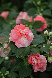 Fiesta Sparkler Salmon Double Impatiens (Impatiens 'Fiesta Sparkler Salmon') at Shelmerdine Garden Center