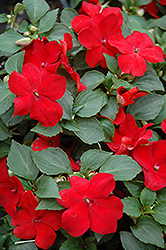 Super Elfin® Red Impatiens (Impatiens walleriana 'Super Elfin Red') at Shelmerdine Garden Center