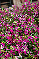 Wonderland Rose Alyssum (Lobularia maritima 'Wonderland Rose') at Shelmerdine Garden Center