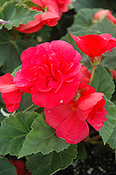 Nonstop® Rose Pink Begonia (Begonia 'Nonstop Rose Pink') at Shelmerdine Garden Center