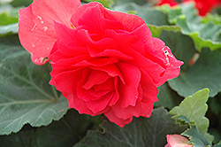 Nonstop® Bright Red Begonia (Begonia 'Nonstop Bright Red') at Shelmerdine Garden Center