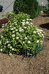 Blue Muffin® Viburnum (Viburnum dentatum 'Christom') at Shelmerdine Garden Center
