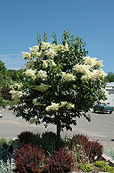 Snowdance™ Japanese Tree Lilac (Syringa reticulata 'Bailnce') at Shelmerdine Garden Center