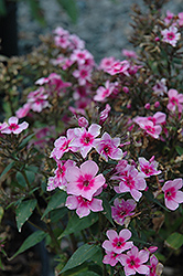 Early Start™ Pink Garden Phlox (Phlox paniculata 'Early Start Pink') at Shelmerdine Garden Center