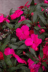 Super Sonic Pink New Guinea Impatiens (Impatiens hawkeri 'Super Sonic Pink') at Shelmerdine Garden Center