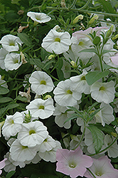Superbells® White Calibrachoa (Calibrachoa 'Superbells White') at Shelmerdine Garden Center