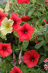Glow Forest Fire Petunia (Petunia 'Glow Forest Fire') at Shelmerdine Garden Center