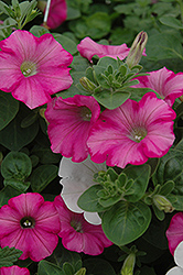 Supertunia® Raspberry Blast Petunia (Petunia 'Supertunia Raspberry Blast') at Shelmerdine Garden Center