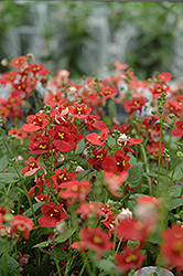 Romeo Red Twinspur (Diascia 'Romeo Red') at Shelmerdine Garden Center