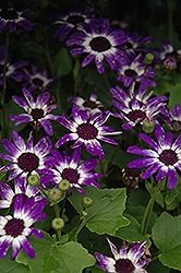 Senetti® Blue Bicolor Pericallis (Pericallis 'Senetti Blue Bicolor') at Shelmerdine Garden Center