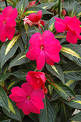 Sonic® Hot Rose on Gold New Guinea Impatiens (Impatiens 'Sonic Hot Rose on Gold') at Shelmerdine Garden Center