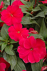 Sonic® Burgundy New Guinea Impatiens (Impatiens 'Sonic Burgundy') at Shelmerdine Garden Center