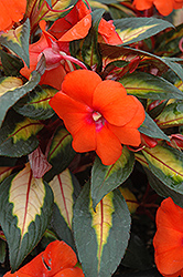 Painted Paradise Orange New Guinea Impatiens (Impatiens hawkeri 'Painted Paradise Orange') at Shelmerdine Garden Center