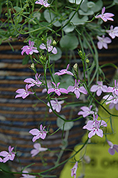 Laguna Heavenly Lilac Lobelia (Lobelia erinus 'Laguna Heavenly Lilac') at Shelmerdine Garden Center