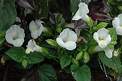 Catalina White Linen Torenia (Torenia 'Catalina White Linen') at Shelmerdine Garden Center