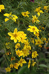 Goldilocks Rocks Bidens (Bidens ferulifolia 'Goldilocks Rocks') at Shelmerdine Garden Center