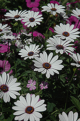 Soprano White African Daisy (Osteospermum 'Soprano White') at Shelmerdine Garden Center