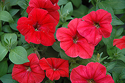 Hurrah Red Petunia (Petunia 'Hurrah Red') at Shelmerdine Garden Center