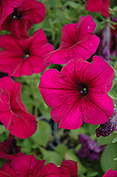 Hurrah Velvet Petunia (Petunia 'Hurrah Velvet') at Shelmerdine Garden Center