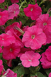 Hurrah Pink Petunia (Petunia 'Hurrah Pink') at Shelmerdine Garden Center