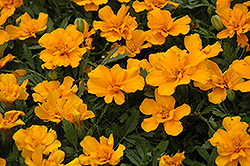 Safari Orange Marigold (Tagetes patula 'Safari Orange') at Shelmerdine Garden Center