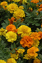 Janie Mix Marigold (Tagetes patula 'Janie Mix') at Shelmerdine Garden Center