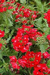 Obsession Red Verbena (Verbena 'Obsession Red') at Shelmerdine Garden Center