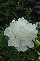 Gardenia Peony (Paeonia 'Gardenia') at Shelmerdine Garden Center
