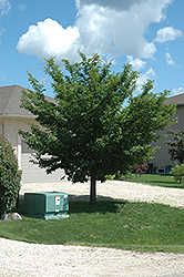 Discovery Elm (Ulmus davidiana 'Discovery') at Shelmerdine Garden Center